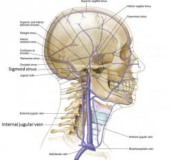 Crane tete profil circulation sanguine