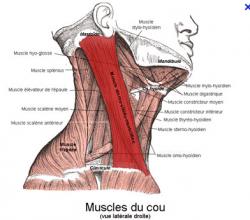 Muscle sterno cleido mastoi dien 1