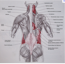 Muscles dos tronc homme 1