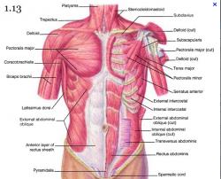 Muscles face tronc homme 2