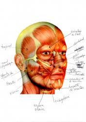 Muscles visage 1
